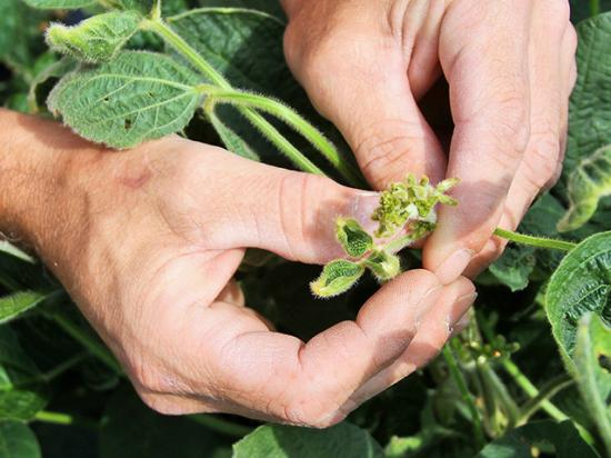 For the fifth year in a row, farmers, rural citizens and scientists are reporting injury from off-target dicamba movement, especially to soybean fields. But this year, in-season dicamba use now faces an uncertain future. (DTN photo by Pamela Smith)