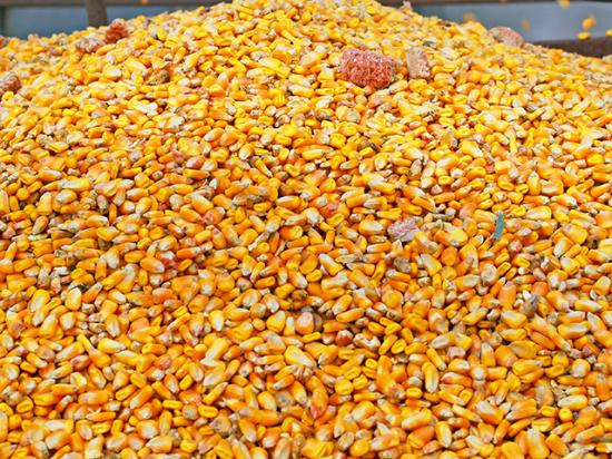 While it would be best to prevent stored grain pests period, it is also important to be able to identify them and manage these insects. (DTN/Progressive Farmer File Photo)