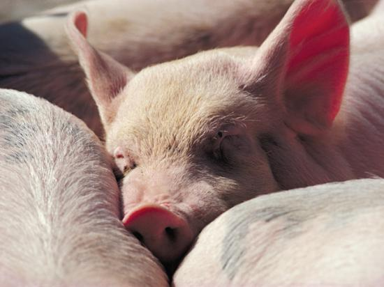 Pork producers are awaiting rules from the state of California on implementation of Proposition 12, while a court battle continues. (DTN file photo)