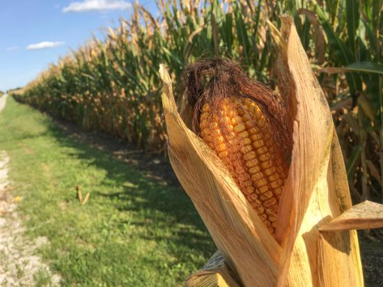 The U.S. corn crop appears in general to be in similar condition at this point in the season to the record year 2017. (DTN photo by Pamela Smith)