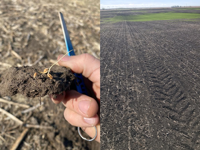 Pictured on the left is nearly dead wheat at Paul Anderson's farm near Underwood, North Dakota. On the right is a struggling spring wheat field in Devils Lake, North Dakota. (Photo on the left by Travis Evanson, agronomist for Wholesale Ag, Underwood, North Dakota; photo on the right by Jason Hanson, agronomist and owner of Rock and Roll Agronomy, LLC Webster, North Dakota)