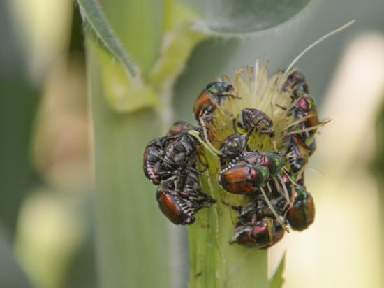 Japanese beetles can be ravenous feeders on corn ear silk, such as these pests in an Ankeny, Iowa, field. In sufficient numbers, Japanese beetles can hamper pollination and reduce yields. (DTN photo by Matthew Wilde)