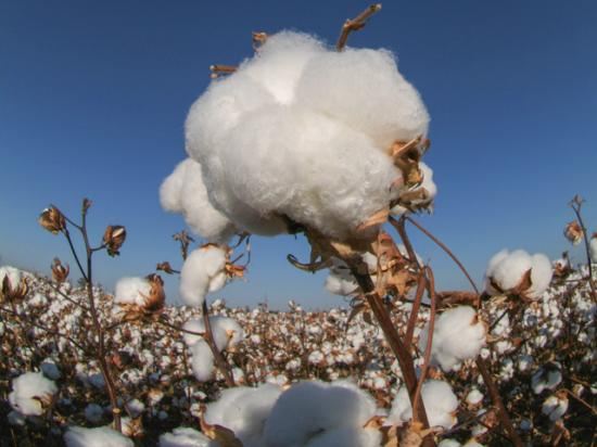 Cotton prices have climbed dramatically since last April to profitable levels. But volatile market conditions cast doubt on future cotton demand and values. (DTN photo by Pamela Smith)