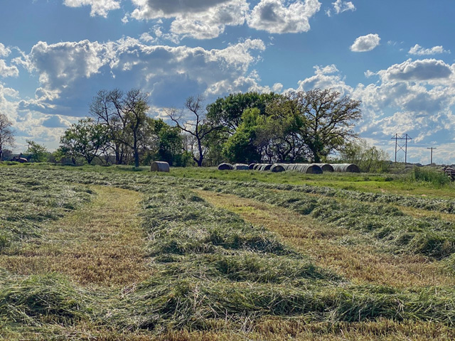 In Anadarko, Oklahoma, damaged winter wheat was cut for hay after the April 15 frost-freeze event. Haying wheat for forage is an option for wheat that was affected by the freeze event. (Photo by Amanda de Oliveira Silva, Department of Plant and Soil Sciences Oklahoma State University)