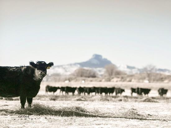 Cattle graze ahead of the early winter storm forecast to cross the High Plains this weekend. (DTN photo by ShayLe Stewart)