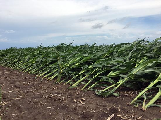 This field north of Sullivan, Illinois, endured some damage after a storm swept through and rain and winds flattened the crop. (DTN photo by Pamela Smith)