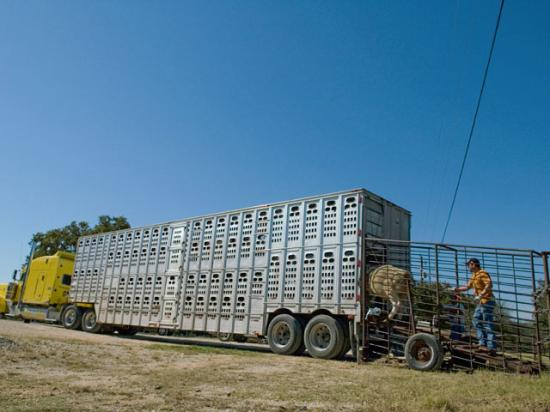 Even if fuel shortages only last a few days, increasing fuel costs are expected to be an ongoing concern as freight costs on loads of cattle start to add up. (DTN/Progressive Farmer file photo by Anna Mazurek)
