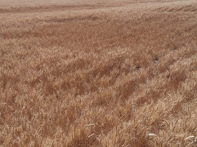Pictured is a field of soft white winter wheat in Washington state showing the different sizes of the plants throughout the field, making harvest difficult. Soft white winter wheat is one of three classes of winter wheat with the other two being hard red and soft red. (Photo Ron Mielke, Harrington, Washington)