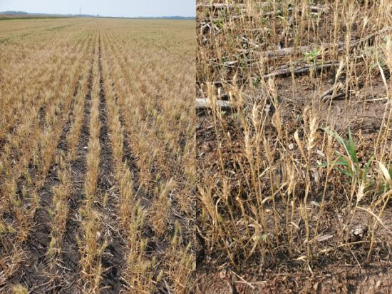 Both of these fields, one in northwest Minnesota and the other in northwest North Dakota, are coming fast and ready to harvest, according to the two farmers. (Photo on left courtesy Tim Dufault, Crookston, Minnesota, and photo on right Paul Anderson, Coleharbor, North Dakota.)