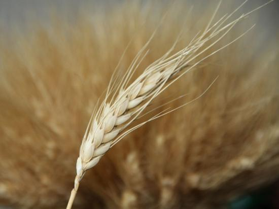 USDA's Animal and Plant Health Inspection Service on Friday reported that 22 genetically engineered glyphosate-resistant wheat plants were found growing in an unplanted field in Washington. (DTN file photo by Elaine Shein)