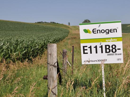 The enzyme in Enogen that helps to break down starch -- a positive in ethanol production -- can be a negative for the food industry making corn chips and tortillas. That makes preventing cross-contamination of the two crops critical. (DTN file photo by Emily Unglesbee)