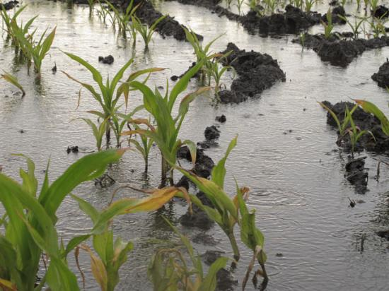 Flooded cornfields are at risk for denitrification and leaching, but cold soil temperatures in May might have slowed or prevented those processes recently. (DTN photo by Scott Kemper)