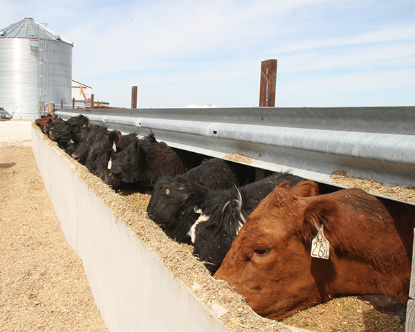 Pictured is a small herd of cattle on feed near Greenfield, Illinois. As of Sept. 17, 2018, both large and small animal food facilities must comply with preventive controls requirements for animal food rule under the FDA Food Safety Modernization Act. (DTN photo by Pam Smith, DTN/The Progressive Farmer Crops Technology Editor)