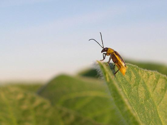 "A handful of researchers are looking to soil-dwelling organisms to control the ""billion-dollar bug,"" western corn rootworm. (Photo courtesy of Joe Spencer, Illinois Natural History Survey)"