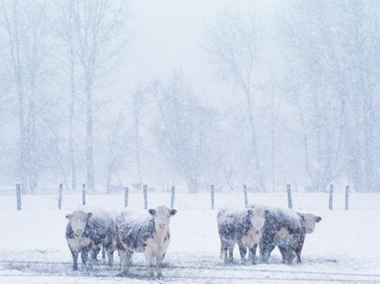 The single most useful tool to improve cattle comfort during extreme cold weather is bedding, according to South Dakota State Extension Beef Feedlot Management Associate Warren Rusche. (DTN/The Progressive Farmer file photo)
