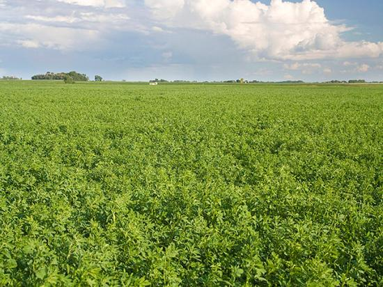 Lack of moisture is more damaging to alfalfa fields than hot temps, according to experts. (DTN file photo by Dan Davidson)