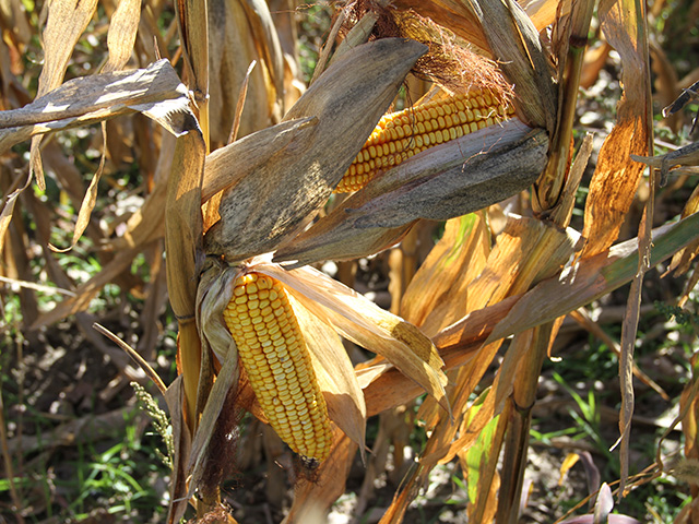 Premiums for organics like this Michigan corn may be worth the effort, even with yield drags and three-year certification requirements, economist Danny Klinefelter said. (DTN photo by Elaine Shein)