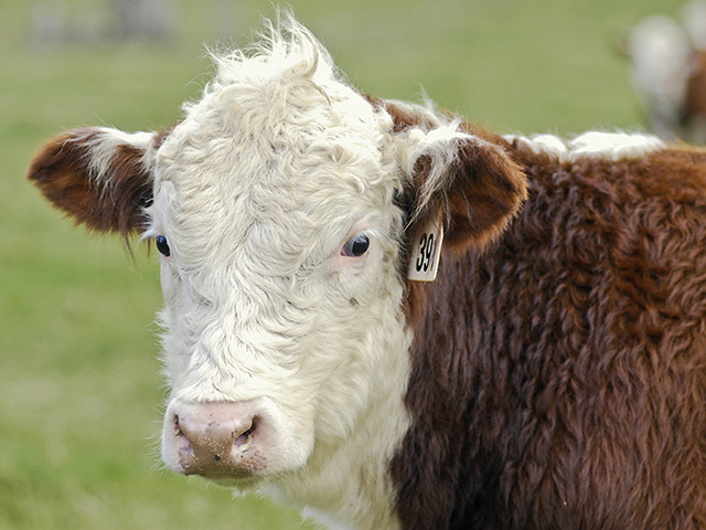 Castration and Beef Profits