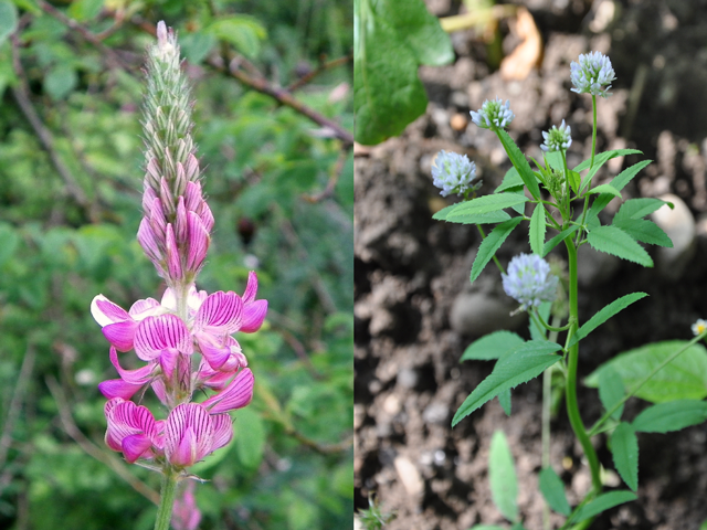 Sainfoin Fenugreek Not Your Everyday Feed