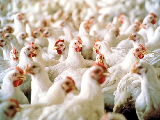 Chinese officials lifted a ban on poultry imports from the United States on Thursday. (Photo courtesy Mississippi State University ag communications)
