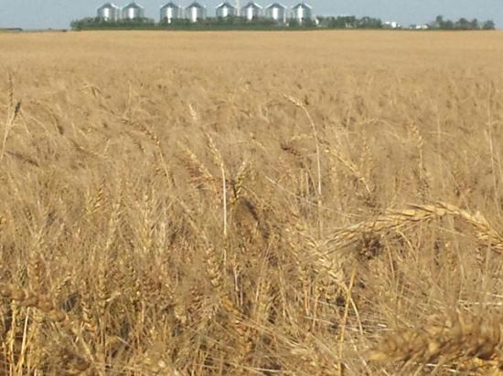 A spring wheat field ready for harvest in fall 2016 near Gettysburg, South Dakota. (Photo courtesy Tom Luken, Onida, South Dakota)