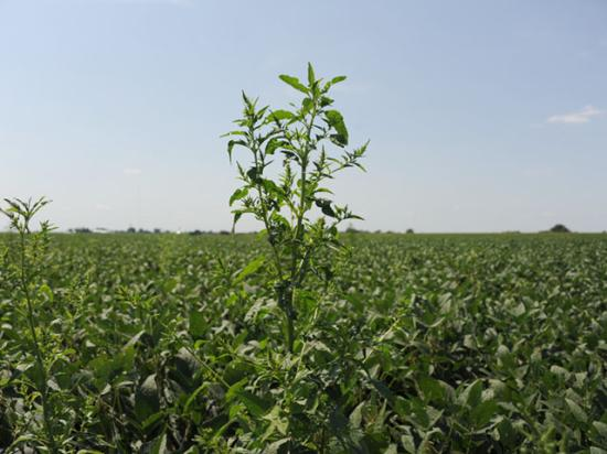 A waterhemp escape looms above a soybean field. Late-season weed control is essential to keeping your weed seedbank under control. (DTN photo by Pamela Smith)