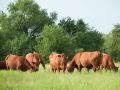 It's not always clear what's causing a limp in cattle. (DTN/Progressive Farmer image by Holly Kuper)