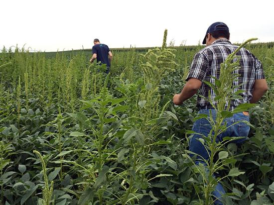 It's not all pretty fields on the Pro Farmer Midwest Crop Tour. Ryan Oates and Juan Carlos Trevino Cordova find the weed populations intense as they enter this Nebraska soybean field. (DTN photo by Pamela Smith)