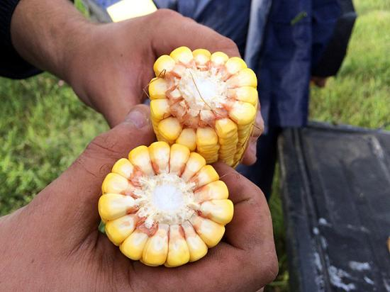 There's still time to pack some weight into kernels of the 2016 corn crop. Pro Farmer estimates a final national average corn yield of 170.2 bpa. (DTN photo by Pamela Smith)