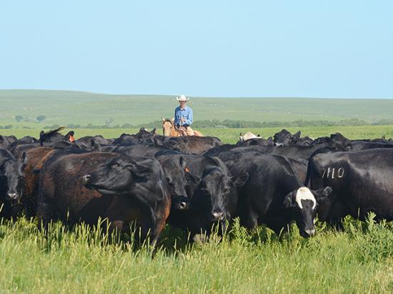 Potential backgrounders should consider if forages are more valuable as a means of adding weight to stockers or producing another calf. (DTN/Progressive Farmer photo by Victoria G. Myers)