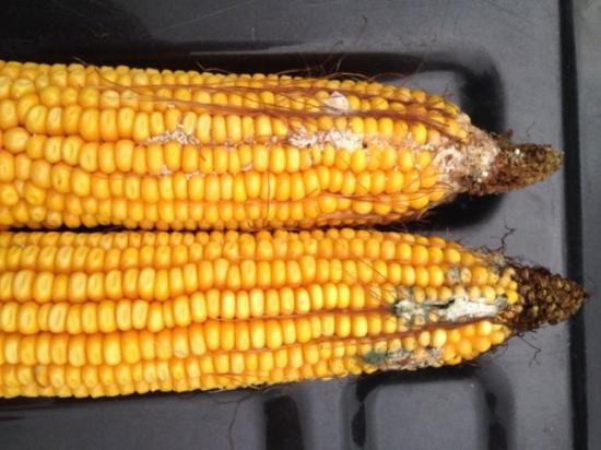 Beef and dairy producers are being urged to test for mycotoxins in this year's corn crop. This image is from corn harvested in Kansas in August. (Image courtesy Alltech)