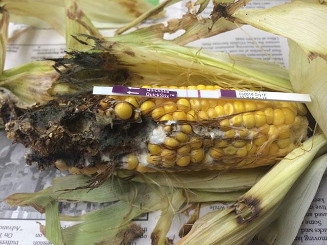 a herculex traited corn ear with significant western bean cutworm damage from an ohio cornfield