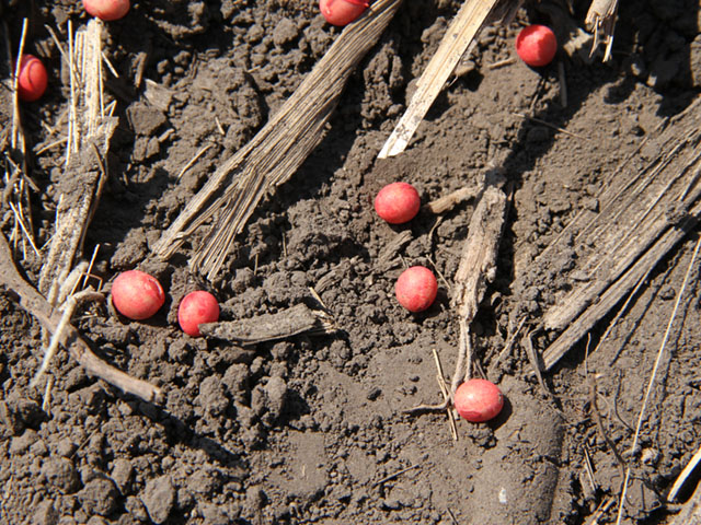 Before soybean seeds even hit the ground, they may carry fungal species capable of causing soybean diseases, according to new research from Kansas State University. (DTN photo by Pamela Smith)
