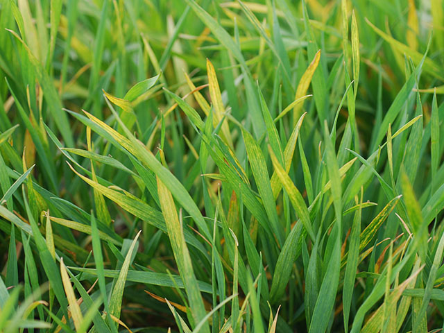 Wheat streak mosaic virus was a common sight in the Great Plains wheat crop this year, thanks to plentiful volunteer wheat left standing in the summer of 2016. (Photo courtesy Kansas State University)