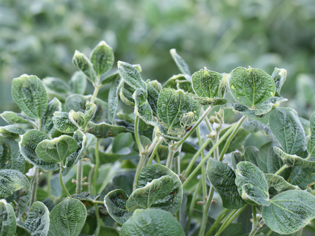 This soybean field in Illinois is showing symptoms of off-target movement of a new formulation of dicamba that was sprayed in a neighboring field. (DTN photo by Pamela Smith)