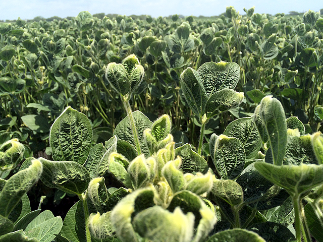 This non-GMO soybean field in Illinois is showing the characteristic puckering and curling associated with exposure to dicamba herbicide. (DTN photo by Pamela Smith)