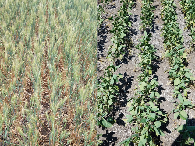 Pictured on the left is a spring wheat field showing severe signs of drought in North Dakota. On the right is a soybean field trying to hang on, but needing water soon if it stands any chance of making it. (Photos courtesy of Mark Rohrich)