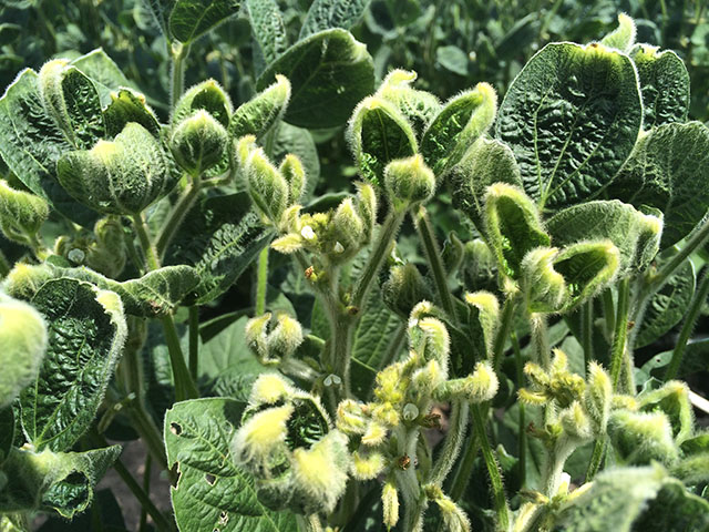 Symptoms of dicamba injury have caused states to take a harder line on applications of low volatility dicamba formulations. (DTN photo by Pamela Smith)