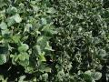 "In the hopes of avoiding off-target movement of dicamba, shown above, state regulators want EPA to mandate an ""early-season"" cutoff date for dicamba use in 2019 and allow states to adjust it according to their needs. (DTN photo by Pamela Smith)"