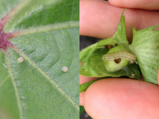 Scouting for bollworm eggs and/or caterpillars in Bt cotton in the South will be necessary this year, as Bt resistance and bollworm populations ramp up. (Photos courtesy Dominic Reisig, NC State University).