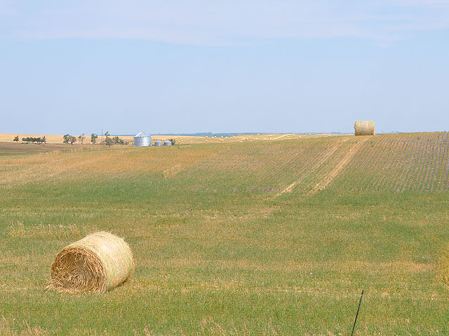 North Dakota producers have turned to corn, oats, wheat, barley and canola for forage, either haying or grazing these crops. (DTN photo by Chris Clayton)