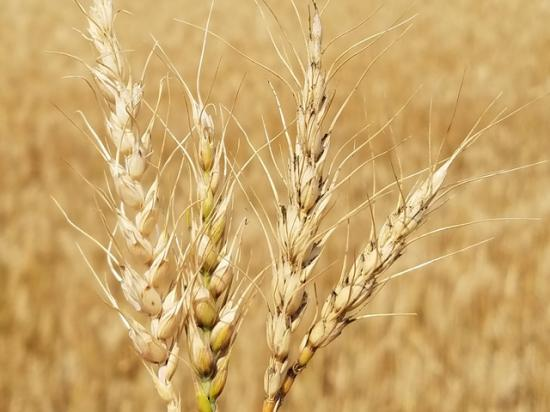 Drought-damaged wheat heads like these in Logan County, North Dakota, were a common sight on the three-day Hard Spring Wheat and Durum Tour this year. (Photo courtesy Kevin Ernst of Chiodo Commodities)