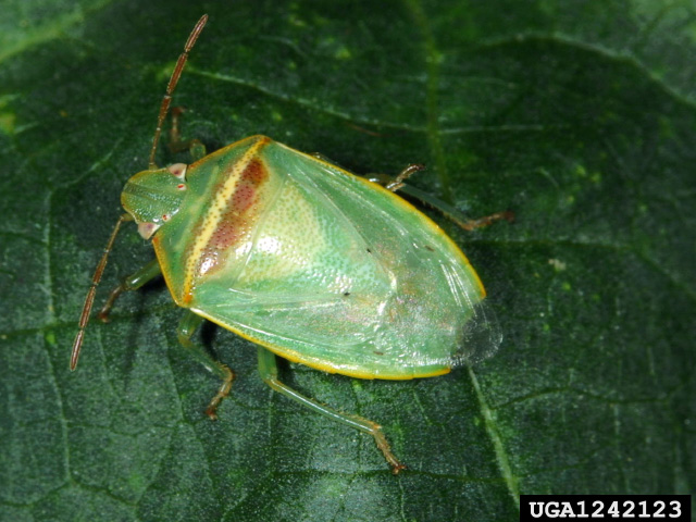 The redbanded stink bug is emerging as the top pest of soybeans in Midsouthern states like Arkansas, Louisiana and Mississippi. (Photo courtesy Russ Ottens, University of Georgia)
