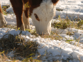 Cattle can get puncture wounds in the lower jaw area easily, sometimes when grazing. This is an area where it's easy for an infection to start. (Progressive Farmer photo by Jim Patrico)
