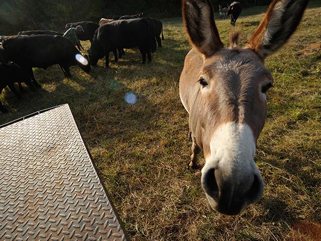 Donkeys And Lick Tubs