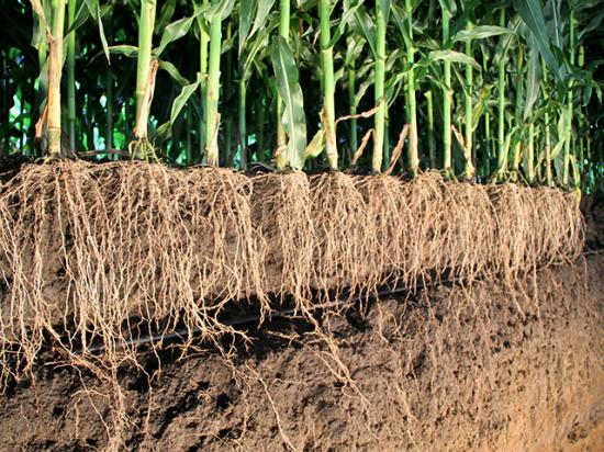 Root research is critical for future growth of crop yields, especially as farming becomes more precise and predictive. (DTN photo by Pamela Smith)