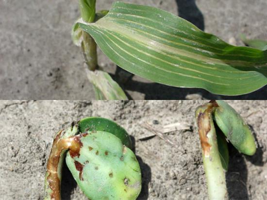 It can be hard to tell seedling diseases apart from chemical injury like fomesafen carryover in corn or soybean seedlings burned by soil-applied herbicide, both shown above. (Photos courtesy of Aaron Hager, University of Illinois)