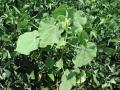 Weeds like cocklebur and velvetleaf, shown above in an Illinois field, may be making a comeback, thanks to a newfound ability to emerge later in the season. (DTN photo by Pamela Smith)