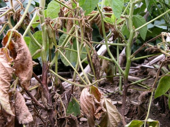 Seedling diseases aren't just for seeds. These soybeans are wilting from Phytophthora infection, identified by the brown discoloration creeping up from the base of the stems. (Photo courtesy of Nathan Kleczewski, University of Illinois)