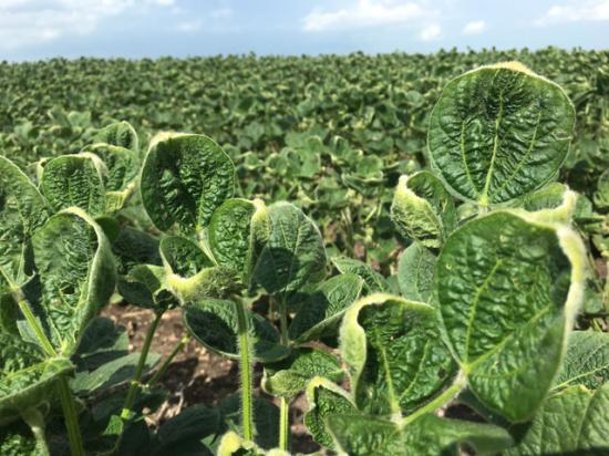 Non-GM soybeans in this Illinois field are showing cupped and curled leaves -- the classic symptoms of dicamba exposure. (DTN photo by Pamela Smith)